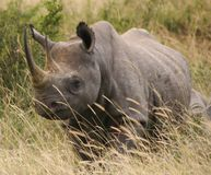Rinoceronte 2.04 di Tsavo Immagine Stock Libera da Diritti