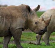 Rinoceronte Immagine Stock