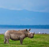 Rinoceronte Fotografie Stock Libere da Diritti