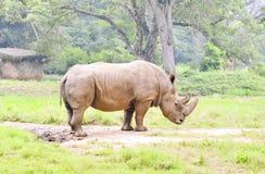 Rinoceronte, Fotografie Stock