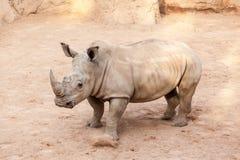 Rinoceronte Fotografia de Stock