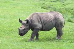 Rinoceronte Fotos de Stock