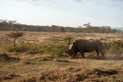 Rinoceronte Fotos de archivo
