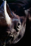 Rinoceronte Foto de archivo libre de regalías