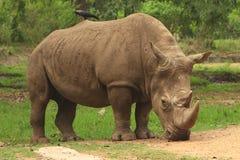 Rinoceronte Imagem de Stock