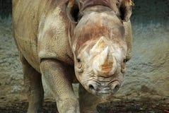 Rinoceronte fotografia de stock royalty free