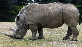 Rinoceronte africano immagini stock