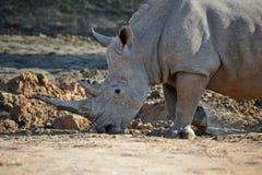 Rinoceronte africano Fotografia Stock Libera da Diritti