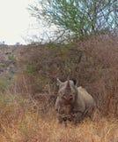 Rinoceronte africano Fotos de Stock