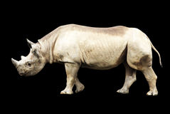 Rinoceronte africano grande isolado em um fundo preto Imagens de Stock