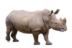 Rinoceronte, aislado Fotografía de archivo