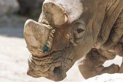 Rinoceronte allo zoo Fotografia Stock Libera da Diritti