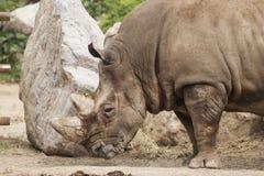 Rinoceronte allo zoo Fotografie Stock Libere da Diritti
