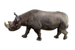 Rinoceronte animal con un colmillo grande aislado en un fondo blanco Imagenes de archivo