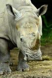 Rinoceronte annoiato fotografia stock