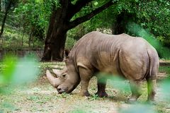 Rinoceronte atrás da folha, Mysuru fotografia de stock