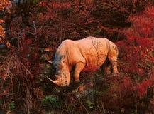 Rinoceronte in autunno immagini stock libere da diritti