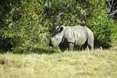 Rinoceronte - bebê do rinoceronte imagem de stock