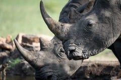 Rinoceronte bebendo fotografia de stock royalty free