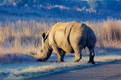 Rinoceronte bianco Immagini Stock Libere da Diritti