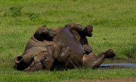 Rinoceronte bianco Immagine Stock