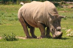 Rinoceronte bianco Fotografie Stock Libere da Diritti