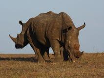 Rinoceronte bianco. Fotografie Stock Libere da Diritti
