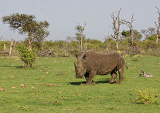 Rinoceronte bianco Immagine Stock Libera da Diritti