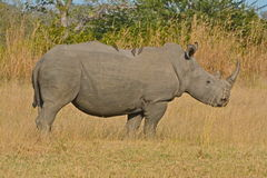 Rinoceronte bianco adulto Immagine Stock Libera da Diritti