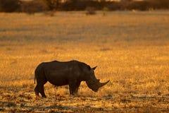 Rinoceronte bianco al tramonto - Sudafrica immagine stock libera da diritti