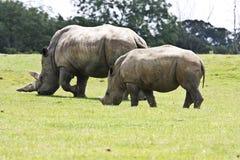 Rinoceronte bianco asiatico Fotografia Stock