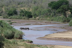 Rinoceronte bianco che attraversa un fiume nel paesaggio africano Fotografie Stock Libere da Diritti