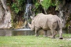 Rinoceronte bianco che cammina verso uno stagno di acqua Immagini Stock