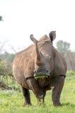 Rinoceronte bianco che mangia il kruger dell'erba Fotografia Stock Libera da Diritti