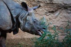 Rinoceronte bianco che mangia le piante vicino alla vista laterale delle rocce Fotografia Stock