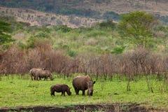 Rinoceronte bianco che pasce Immagine Stock