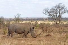 Rinoceronte bianco che pasce Immagine Stock Libera da Diritti