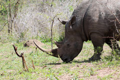 Rinoceronte bianco che pasce Fotografia Stock