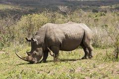 Rinoceronte bianco che pasce Fotografia Stock Libera da Diritti