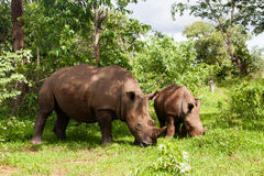 Rinoceronte bianco con i giovani immagini stock libere da diritti