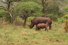 Rinoceronte bianco con i giovani nella regione selvaggia Immagine Stock