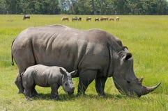 Rinoceronte bianco con il vitello sveglio Fotografie Stock