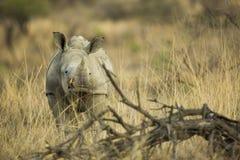 Rinoceronte bianco del bambino nel Sudafrica immagini stock libere da diritti