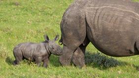 Rinoceronte bianco del piccolo bambino fotografia stock libera da diritti