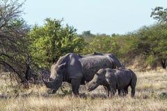 Rinoceronte bianco del sud nel parco nazionale di Kruger, Sudafrica Fotografia Stock