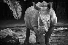 Rinoceronte in bianco e nero Fotografie Stock Libere da Diritti
