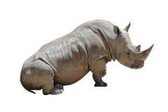 Rinoceronte bianco isolato su bianco fotografia stock libera da diritti