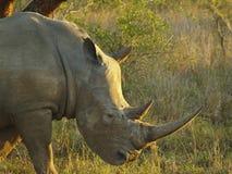Rinoceronte bianco maschio Fotografia Stock