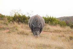 Rinoceronte bianco maschio che pasce diritto Immagini Stock Libere da Diritti