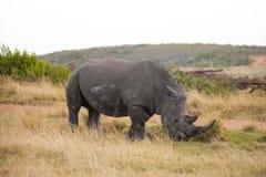 Rinoceronte bianco maschio con il corno lungo che pasce Immagini Stock Libere da Diritti